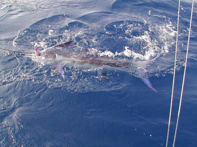 Crushed ice deep sea fishing pics pensacola fl for Pensacola deep sea fishing